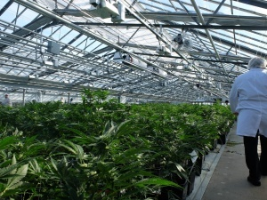 Tips to Optimize Cannabis Cultivation in Greenhouse Environments